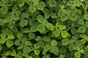 close up image of a patch of green clovers for St. Patrick's Day in Park City